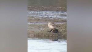 Video: zeer zeldzame blonde ruiter lokt veel vogelspotters naar Maaspark