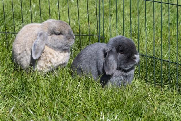 Kom niet te dicht bij konijn Joepie, want dan gaat-ie grommen (behalve bij baasje Lars uit Spaubeek)