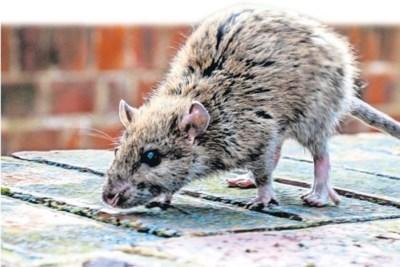 Dertien meldingen overlast ratten in Oirsbeek