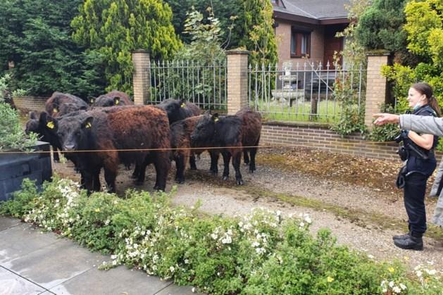 Galloways ontsnapt uit natuurgebied RivierPark Maasvallei