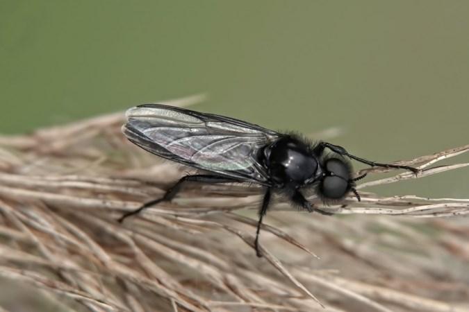 Mens & Natuur: waarom alles wat op een vlieg lijkt niet per se een vlieg is