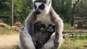 Geboortegolf overspoelt ZooParc Overloon in aanloop naar heropening