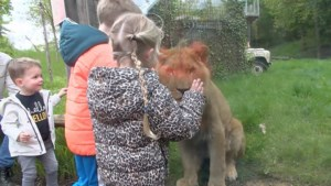 Video: GaiaZOO na maanden weer open: gezellige drukte bij heropening dierenpark