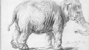 Expositie over Hansken, de olifant die Rembrandt in 1637 met veel aandacht voor details tekende
