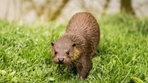 Opnieuw otter gesignaleerd in Limburg, maakt het beestje een comeback?