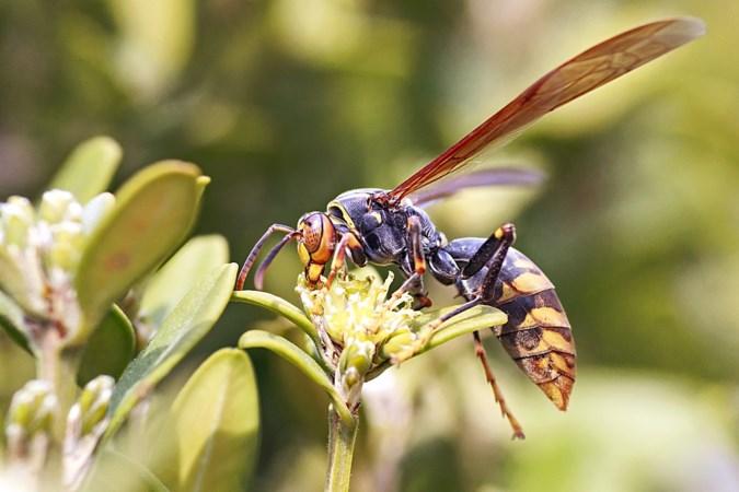 'Monsterwesp' Aziatische hoornaar gespot in Limburg