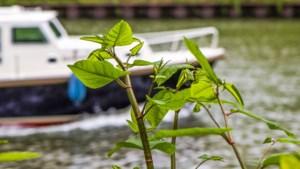 Brandwonden en schade aan gebouwen en wegen door exotische planten: Elsloo gaat de strijd aan
