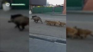 Video: Everzwijnen teisteren Belgisch-Limburgse wijk, buurtbewoners zijn overlast beu