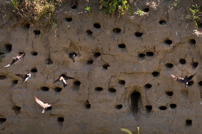 Natuurlijk kunstwerk op de oever van de Maas: zwaluwen nestelen in steile zandwand