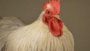 Dier van de week: cochin haantje Pardoes zoekt nieuwe kippenvriendinnen
