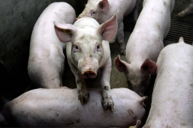 Bouw drie grote varkensstallen in Ell duurt langer door streep door milieuvergunning