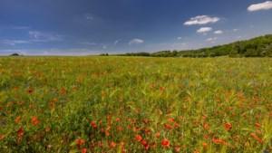 Limburg kleurt rood door een explosie van klaprozen