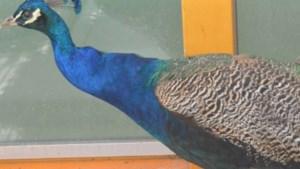 Dier van de week: Jeroen de pauw zoekt thuis met een of meerdere pauwendames