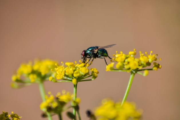 Overlast van vliegen in Maasgouw