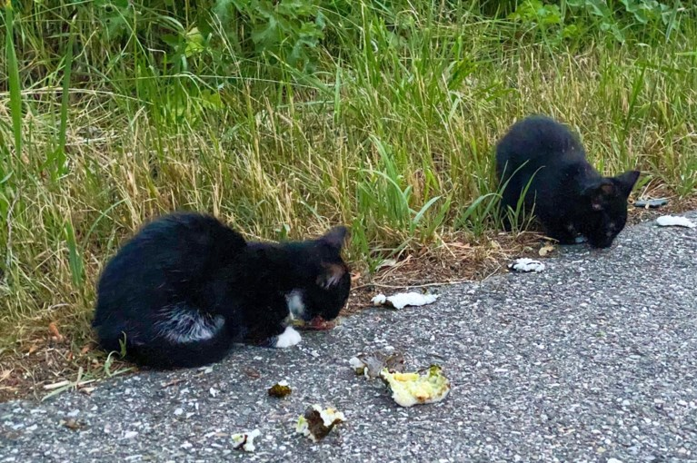 Jonge katjes lopen over drukke weg, voorbijgangster vangt ze met sushi