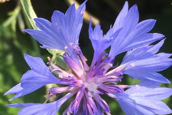 Mens & Natuur: Er is blauw, blauwer, blauwst en korenbloemblauw