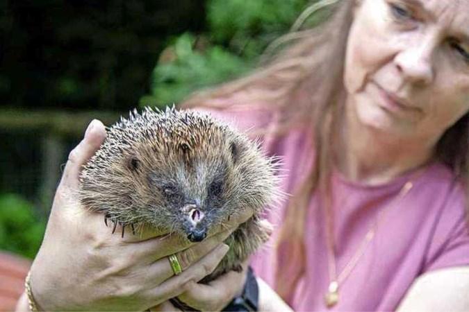 Egels massaal geveld door geautomatiseerde grasmaaiers: dieren met ernstige verwondingen ingeslapen