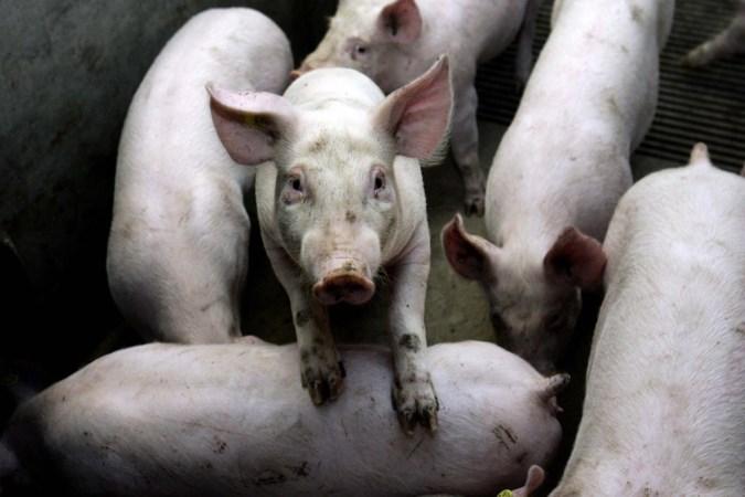Biggen die van Luikse wafels en haring houden in centrum Maastricht in beslag genomen