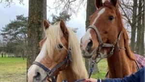 Wensen van veehouders Horst aan de Maas worden per locatie in beeld gebracht