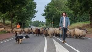 Zo trekt de schaapsherder met zijn kudde en hond in alle vroegte door de stad