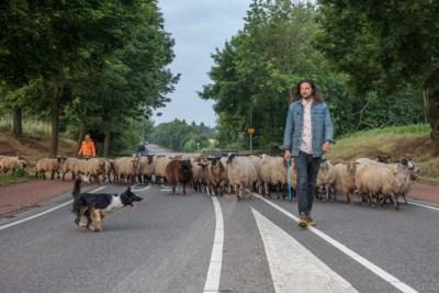 Foto's: Zo trekt de schaapsherder met zijn kudde en hond in alle vroegte door de stad