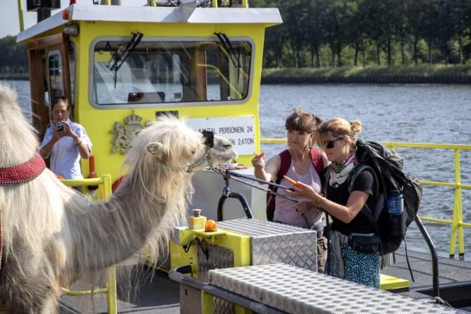 Waarom trekt iemand met een kameel door Limburg? Nou, hierom