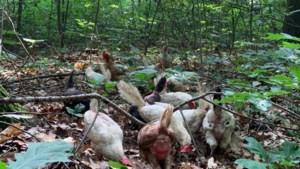 250 euro voor gouden tip die leidt naar de persoon die 40 verwaarloosde kippen in een bos bij Sint Joost dumpte