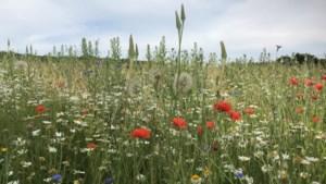 Vlinderproject pacht zelf stuk grond langs A2 in Bunde voor bloemenwei