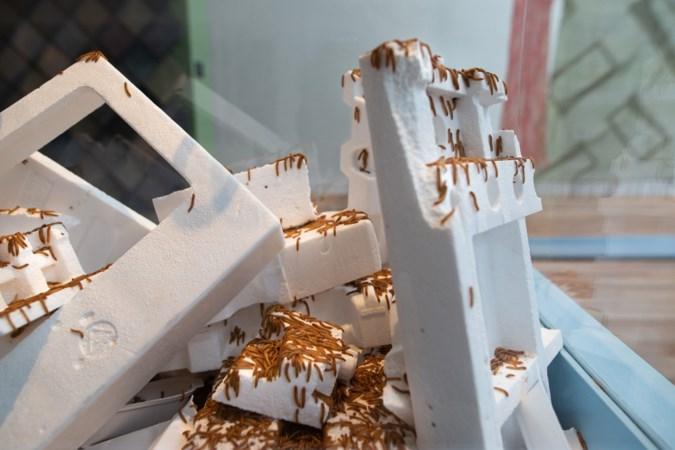 Ontwerper laat wormen smullen van piepschuim op expositie in Sittard: 'Ze breken het plastic af en zetten het om in eiwitten'