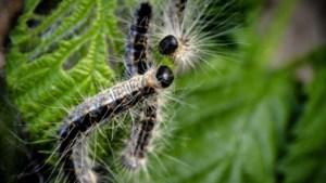 Zuid-Limburgse bermen worden lust voor het oog dankzij deze biologische bestrijding van de eikenprocessierups