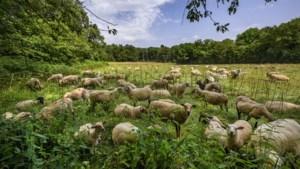Ondernemers starten initiatief tegen verspilling schapenwol