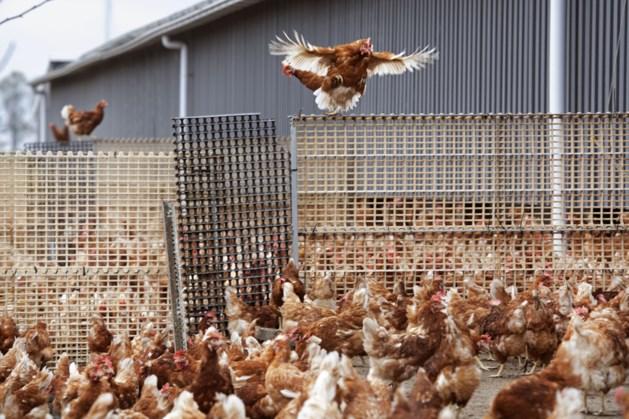 Ophokplicht pluimvee vervalt in heel Nederland vanaf middernacht
