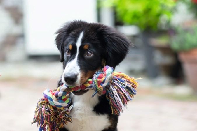 Puppy Guusje uit Beek blijft niet lang een schattig schoothondje: 'Ze gaat straks richting de veertig kilo'