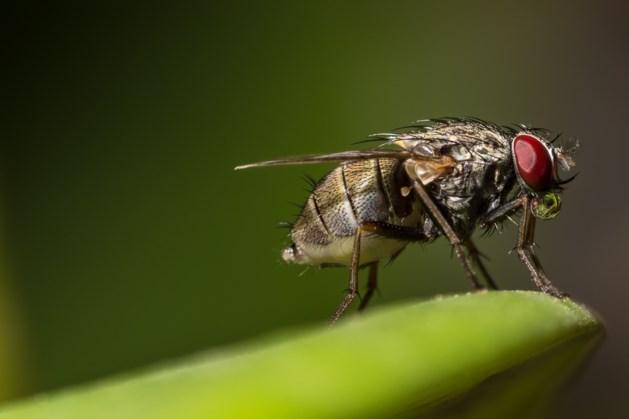 Gemeente Maasgouw tast in het duister over oorzaak vliegenoverlast