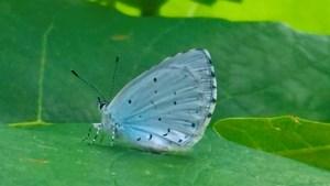 Eindelijk een boomblauwtje in de tuin, met typisch mannetjesgedrag: rusteloos fladderen, langs het struikgewas patrouilleren, in de hoop een wijfje te ontwaren
