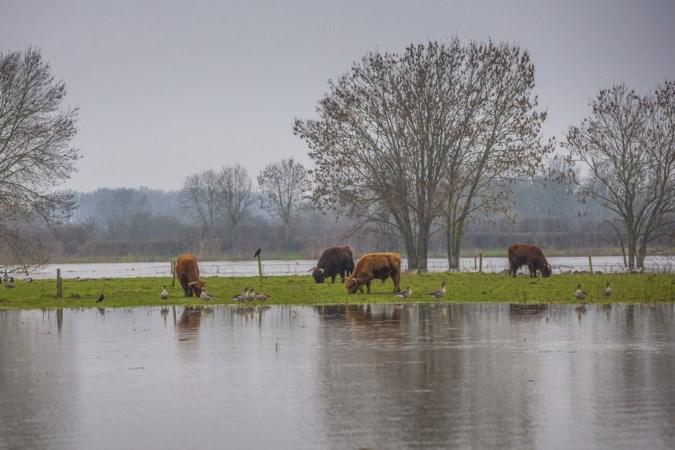 Hoogwater Maas is een ramp voor reeën, wilde zwijnen, hazen en konijnen