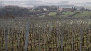 Limburgse wijnbedrijven vrezen voor beschimmelen druivenranken