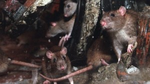 Na het water nu het ongedierte: ratten en muggen volgende plaag voor gedupeerden van waterramp
