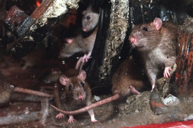 Met het zakken van het water komen ook de ratten tevoorschijn: 'Ze zijn niet snel weg te jagen'