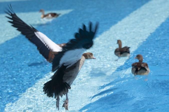 Familie Nijlgans neemt bezit van zwembad De Nieuwe Hateboer in Sittard: 'We kunnen ze niet verjagen, ze komen vanzelf terug'