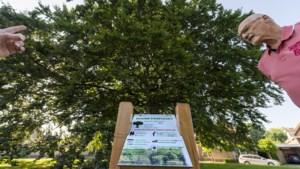 Dankzij het boompaspoort weten Weertenaren nu dat de beuk aan de Windmolen het koelvermogen van achttien airco's heeft