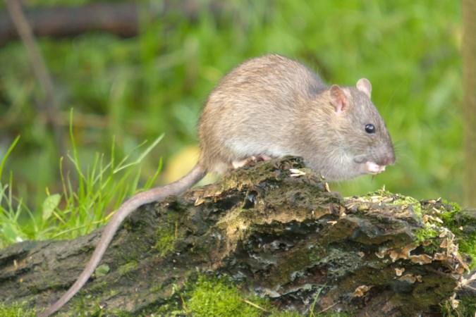 Zo vindingrijk en intelligent is de bruine rat