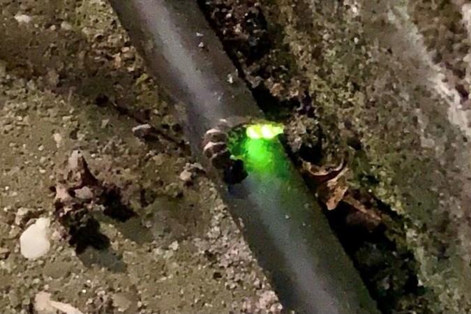 Hé, een lichtje in de tuin: de grote glimworm steekt het lampje in haar buik aan