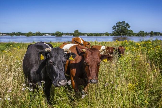 Rijk betaalt veevoer voor door hoogwater getroffen Limburgse boeren