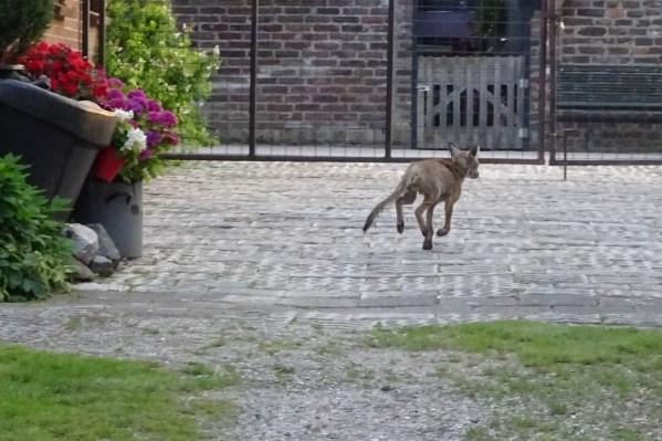 Schurftige vossen maken straten van Stevensweert onveilig