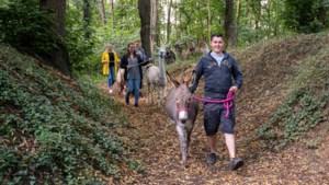 Wandelen met een lama, alpaca, ezel en kameel kan ook gewoon in Limburg