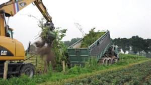 Twee kilometer aan meidoornen die dassenfamilie bescherming moest bieden gerooid vanwege besmettelijke plantenziekte