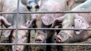 Foute berekening stankoverlast te laat hersteld; boer in Leunen mag meer varkens houden
