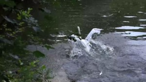 Gewonde zwaan na drie weken verlost van vishaak in poot