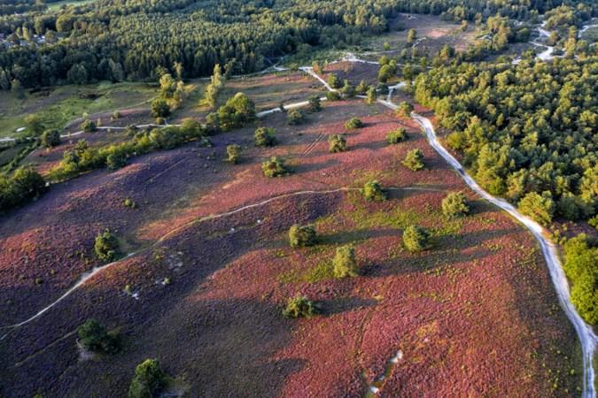 Het paarse genot van de Brunssummerheide: zeker niet vanzelfsprekend